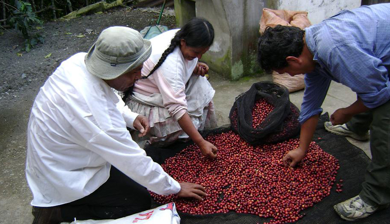 The best coffee beans are picked out